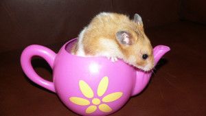 Hamster in a teapot (photo credit Angie Perkins)