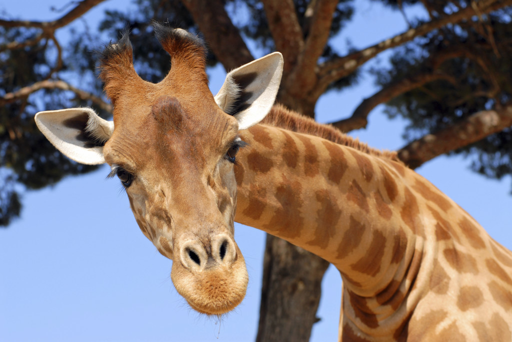 How cool to meet a giraffe face to face on his own turf!