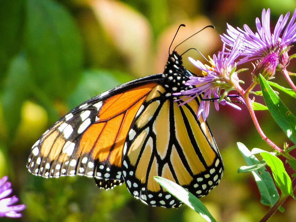 Save Monarch Butterflies — Just Plant Some Seeds