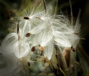 milkweed-170603_1280