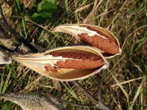 milkweed-289594_1280