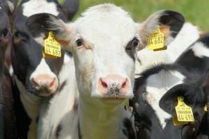 cow-812730_1280